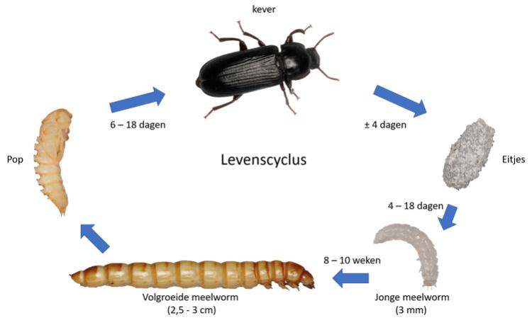 De levenscyclus van een meelworm