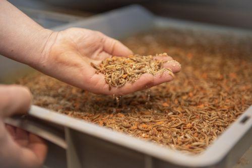 Meelwormen emmer 500 gram 4