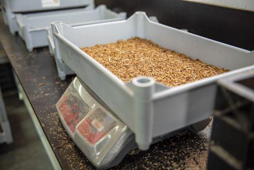 Meelwormen mini's emmer 1000 gram 3