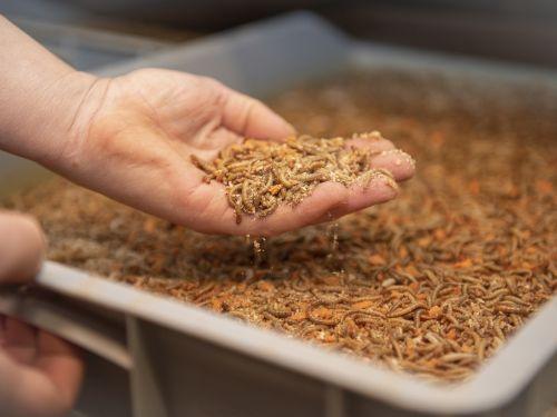 Meelwormen emmer 500 gram